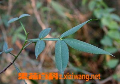 果蔬百科竹叶椒